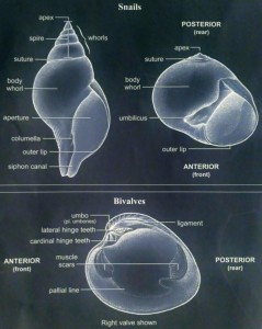 Seashell Anatomy
